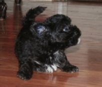 Black havanese puppies playing