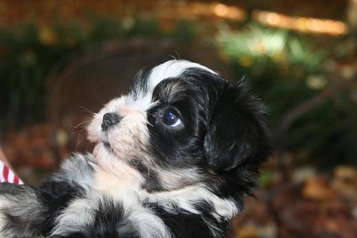 cute black and white havanese puppies for sale in charlotte north caroilina