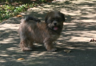 Sable havanese dog for sale by top puppy breeders in charlotte north carolina