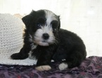 Black and white kase havanese puppy picture with hat