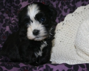 Havanese puppy by dog breeder in charlotte