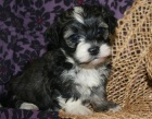 Adorable havanese puppies for sale by breeders in charlotte north carolina