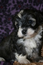 Sable and white havanese dogs puppy picture