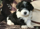 Black and white havanese puppies for sale by breeders in charlotte