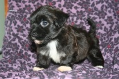 Black havanese puppies for sale in charlotte north carolina