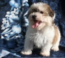 smiling sable and white havanese puppy