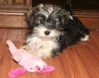 sable and white havanese dog playing with toy
