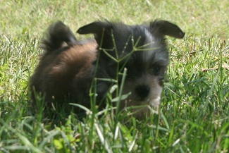 little sable and white havanese puppy playing in the grass