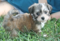 Small sable and white havanese puppy in the grass
