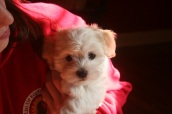 white havanese puppy for sale by KASE Havanese