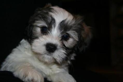 KASE Havanese | Quality Havanese Puppies in Charlotte North Carolina