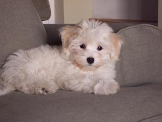 white havanese dog lounging on sofa in charlotte north carolina