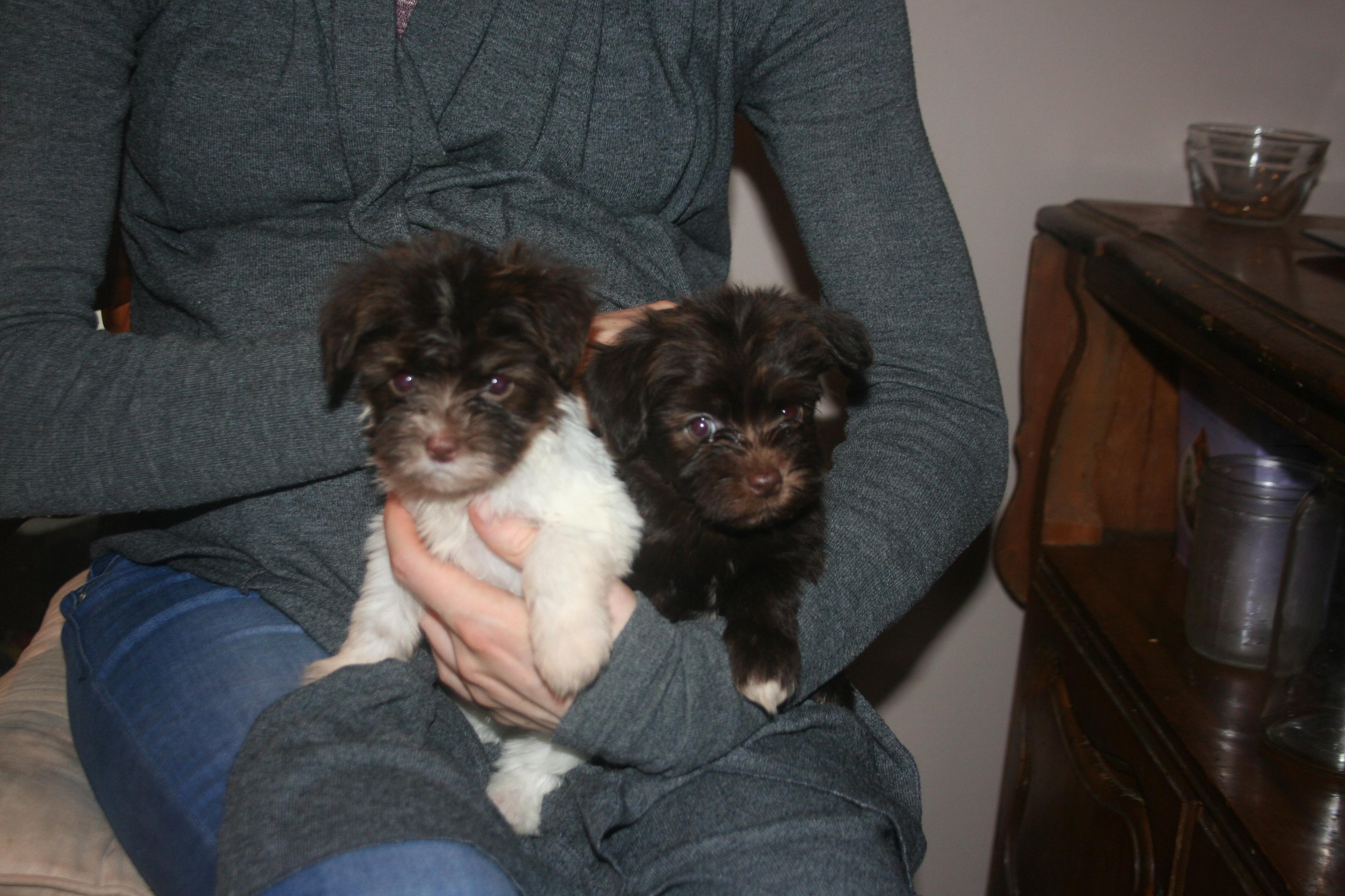 Is It Ok To Get 2 Havanese Puppies Kase Havanese